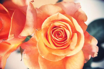 薔薇(トイカメラ風変換後)