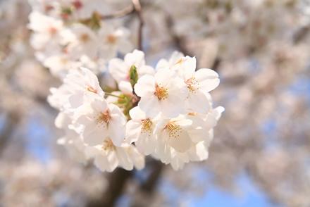 三刀屋土手の桜8