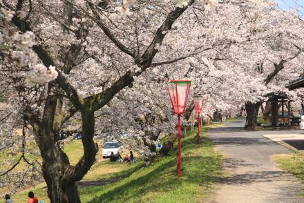 三刀屋土手の桜