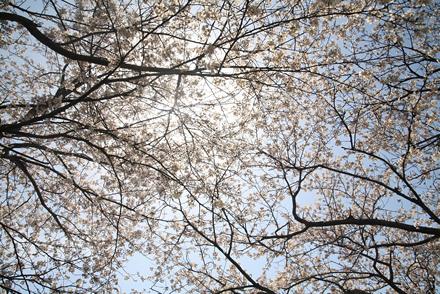 三刀屋土手の桜5