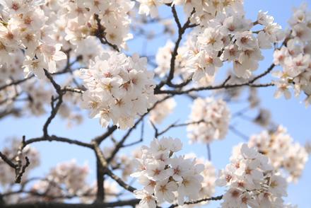 三刀屋土手の桜7