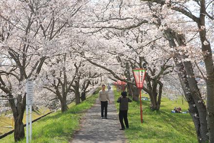 三刀屋土手の桜6