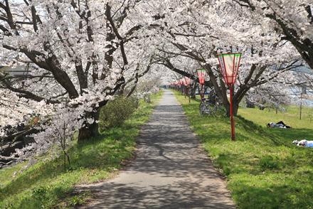 三刀屋土手の桜2