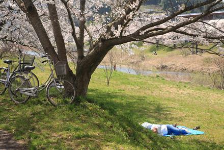 三刀屋土手の桜4