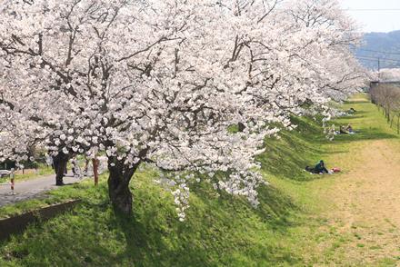三刀屋土手の桜3