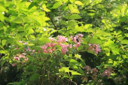 ピンク色の卯の花